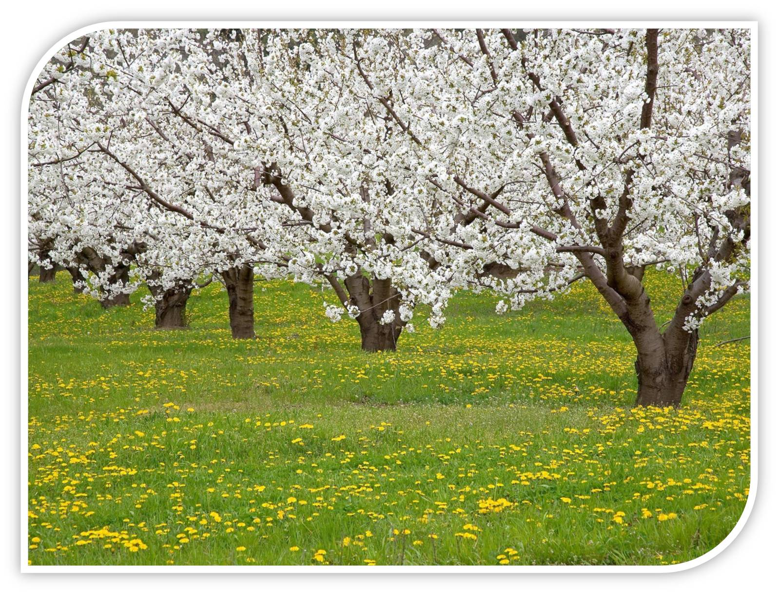 Fruiting Trees Plants Fruit Trees Swan Plants by