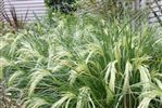 Grasses and Flaxes