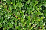Catalogue see the range we grow over the year - Cotoneaster dammeri green carpet ...