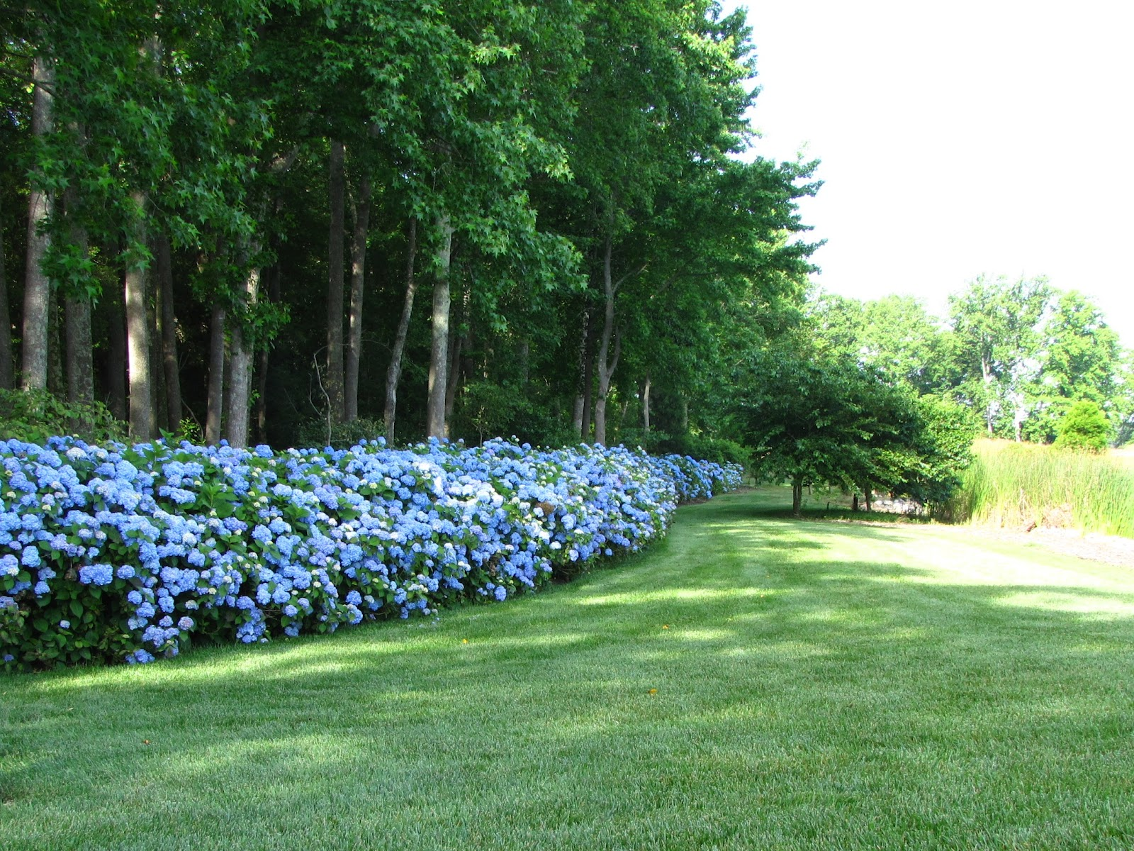 Landscape Bushes With Odor : Hydrangea gallery